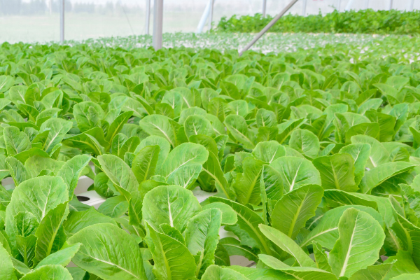 Hydroponic Growing Systems Commercial