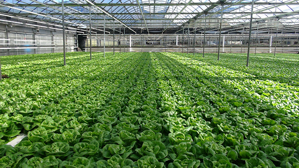 Commercial Growing Systems NFT Vegetables Herbs Plants Fruit