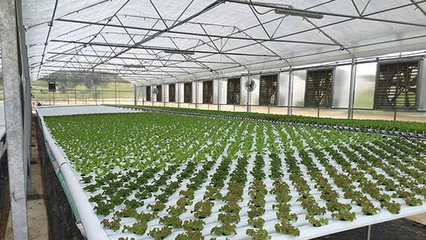 Commercial Hydroponic Growing System NFT Vegetables Lettuce fruit